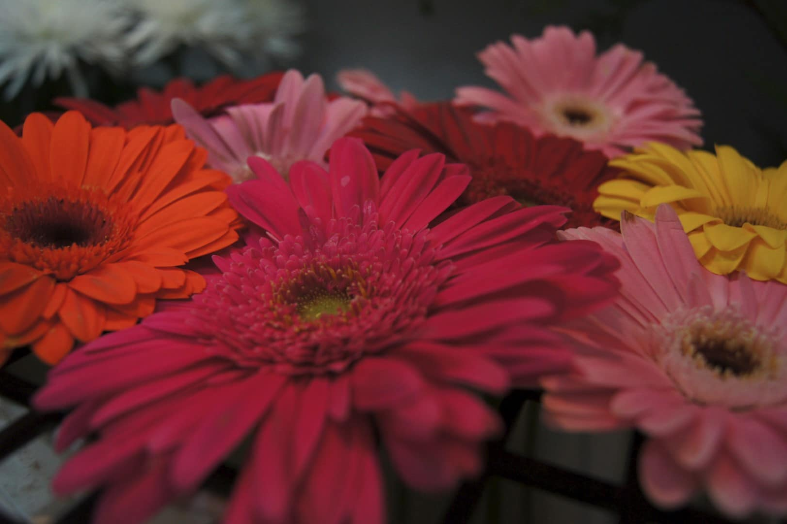 Coloured Geraniums
